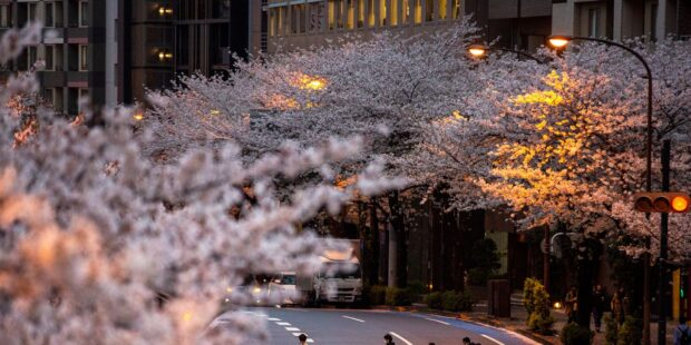 Japan's famous cherry blossoms bloomed early this year